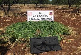 Malatya'da 21 bin 500 kök kenevir ele geçirildi