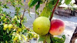 Bilim insanları bu meyve karşısında şaşkın!