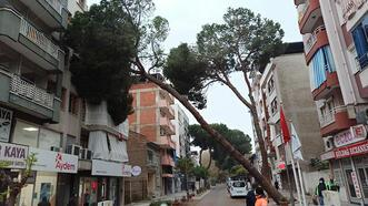 4 günde 3'üncü çam ağacı devrildi