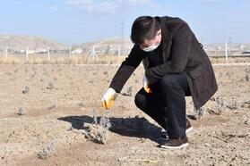 Aksaray Belediyesi'nden 20 dönüm araziye lavanta