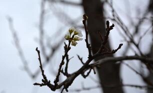Erik ağacı çiçek açtı