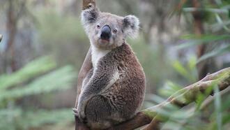 Koalalar hakkında 10 ilginç bilgi