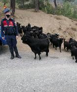 Kayıp keçileri jandarma buldu