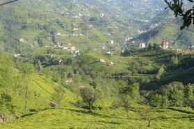 Doğu Karadeniz'de yaş çay tarımı başlıyor
