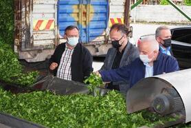Çaykur, günlük 11 bin ton yaş çay alımına ulaştı