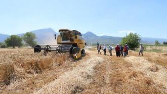 'Hüseyin bey' buğday çeşidi hasat edildi