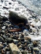 Deniz kaplumbağasının telef bedeni sahile vurdu