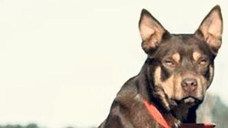 Sığır güden köpek 300 bine satıldı