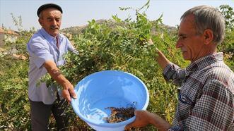 Türkiye'de sumak üretimi 8 yılda 5 kattan fazla arttı
