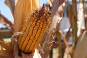 Kozan'da mısır hasadı başladı