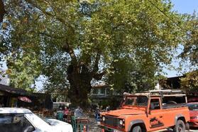 Marmaris'teki 1906 yıllık çınar ağacına bakım