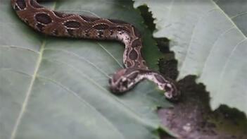 Çift başlı yılan ortaya çıktı!