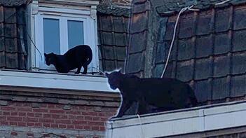 Çatıda panter paniği! Şehrin göbeğinde...