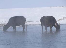 Mandalar gölün dibindeki yosunlarla besleniyor