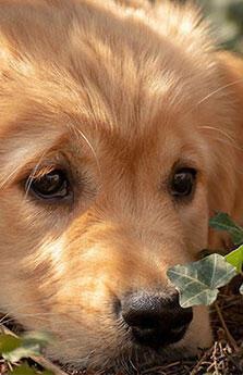Köpekler corona virüsü tespit edebilir mi?