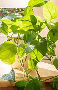 Evdeki nemi azaltıp havayı temizleyen 10 bitki