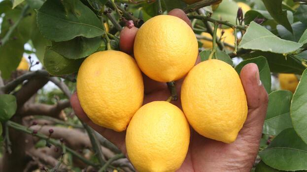 Talep azaldı, limon fiyatları düştü!