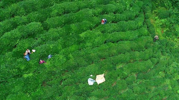 ÇAYKUR'a alınacak 300 mevsimlik işçi için kura çekimi yapıldı