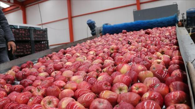 Verimiyle yüz güldüren Isparta elması 10 ülkeye ihraç ediliyor