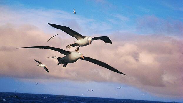 En uzun kanatlı kuş hangisidir?