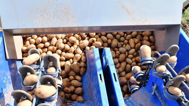 İzmir'in Ödemiş ilçesinde TMO'nun patates alımları sürüyor