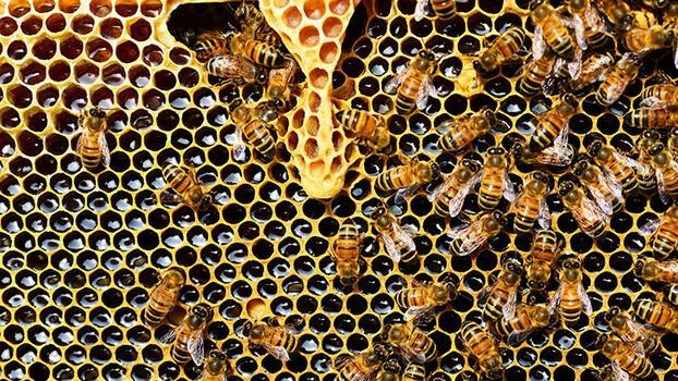 Arılar kendi kendini nasıl tedavi ediyor?