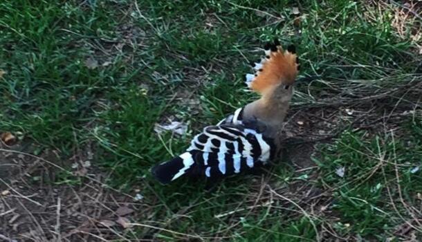 Yaralı bulunan ibibik kuşu tedavi edilecek