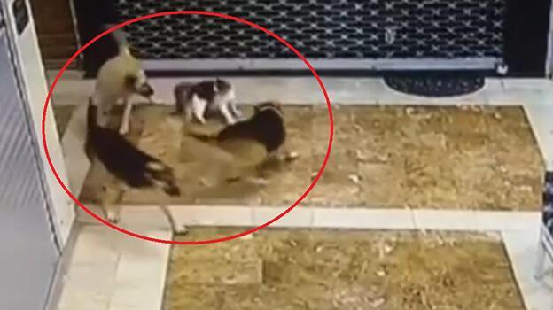 Kedi, yavrusuna saldıran 3 sokak köpeğini kovaladı