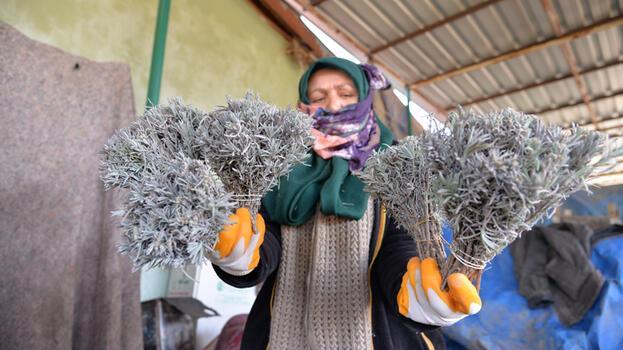 Bilecik'ten Özbekistan'a 35 bin demet lavanta ihracatı