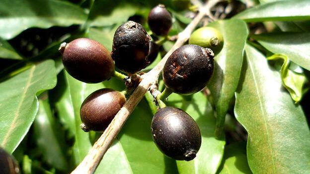 İklim değişikliğinden etkilenmeyecek bir kahve türü bulundu!