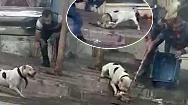 Şanlıurfa'da pitbull dehşeti! Ağzından zor aldılar