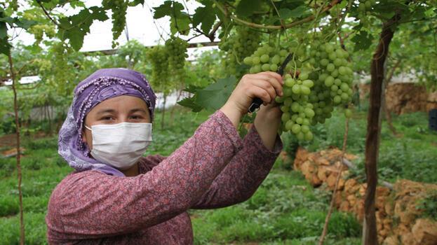 Erdemli'de yılın ilk erkenci üzüm hasadı; kilosu 50 TL