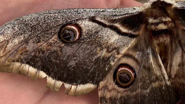 Osmaniye'de kanat açıklığı 16 santimetre olan tavus kelebeği bulundu