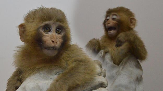 Sınırda 12 maymun! Ekipler fark edince harekete geçti