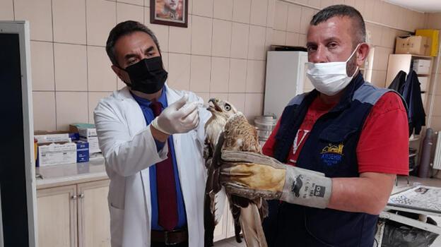 Kırşehir'de bitkin ve hasta bulunan kızıl şahin tedavi altına alındı