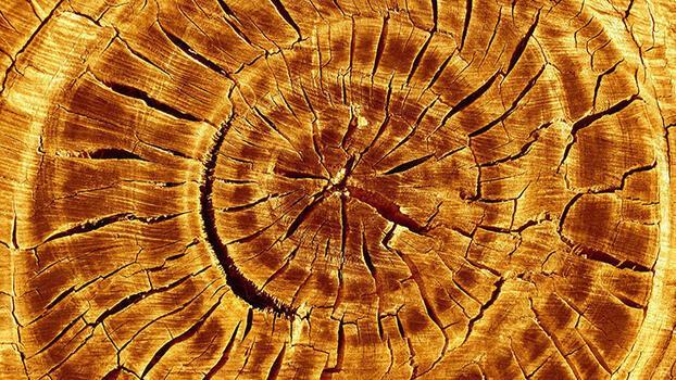 Ağaçların yaşı nasıl hesaplanır?