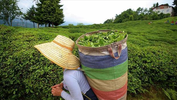 ÇAYKUR, birinci sürgünde dönüm başına 600 kilogram yaş çay alacak
