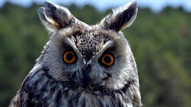 Kars'ta bitkin halde bulunan kulaklı orman baykuşu tedavi altına alındı