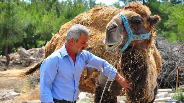 Şampiyon deve kurbanlık oldu! 40 bin lira istiyor