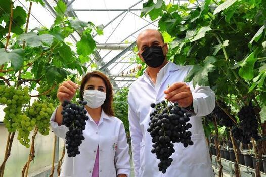 Manisa'da yılın ilk üzüm hasadı yapıldı