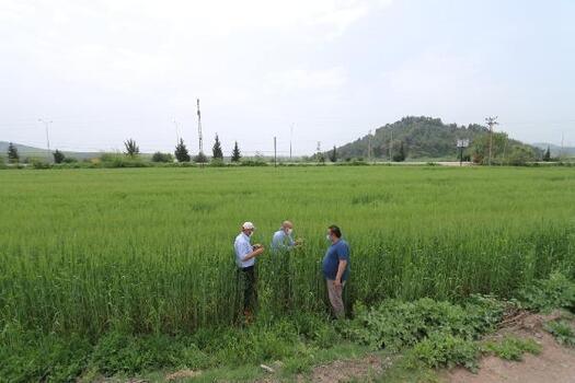 Osmaniye'de, yerli buğday çeşitleri demonstrasyon ekimi yapıldı