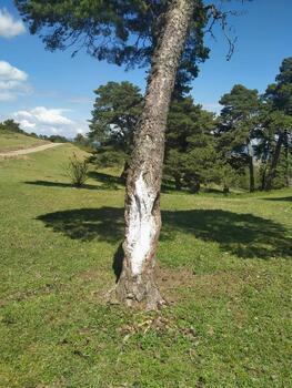 Tahrip edilen ağaçlar koruma altında
