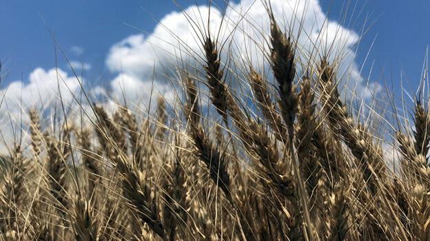 Buğday hasadına hazırlanan Trakya'da yağışlar yüksek rekolte beklentisini artırdı