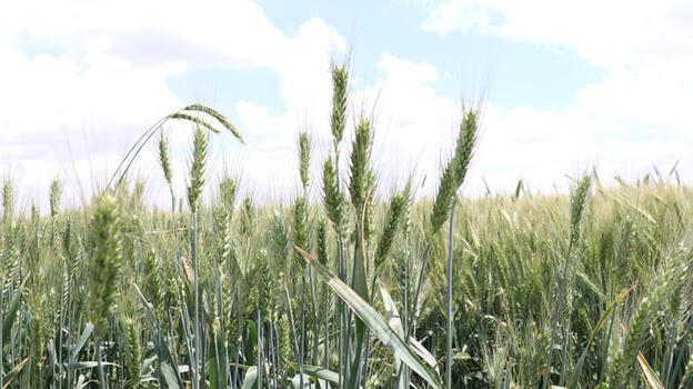 Niğde'de yerli buğday deneme ekimlerinden yüksek verim alındı