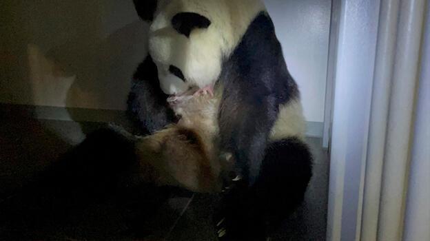 Panda ikiz doğurdu, sevinçten çığlık attılar!