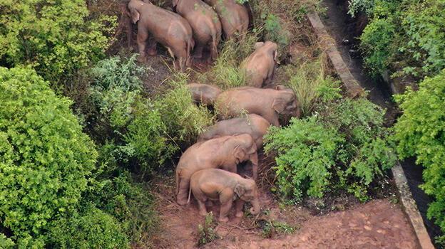 Bilim insanları, Çin'de uzun bir yürüyüşe çıkan filleri olağan dışı buluyor