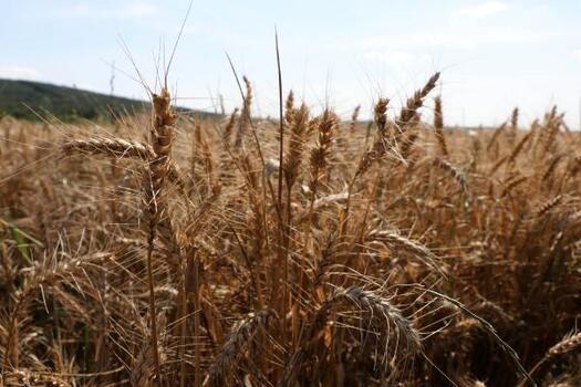 Edirne'de çiftçi buğdayda yüksek verim bekliyor