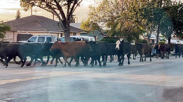 ABD'de ineklerden özgürlük eylemi: Mezbahadan kaçıp sokakları birbirine kattılar