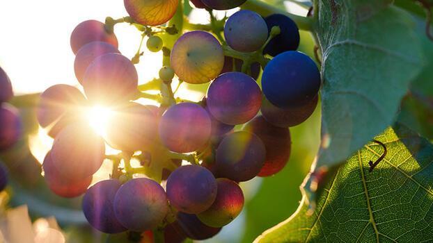 Paşa Tası Tekerlemesi: Paşa tasıyla taşa taşa beş taş has üzüm hoşafı…
