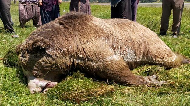 Bolu'da silahla vurulan ayı gölde boğuldu